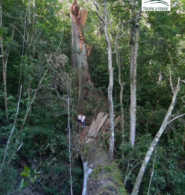 Tod in Monte Alto! Der Fall eines Baum-Riesens mit Geschichte!