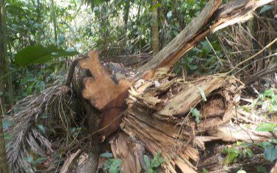 Bedrohung unseres Waldes durch illegale Holzwirtschaft!