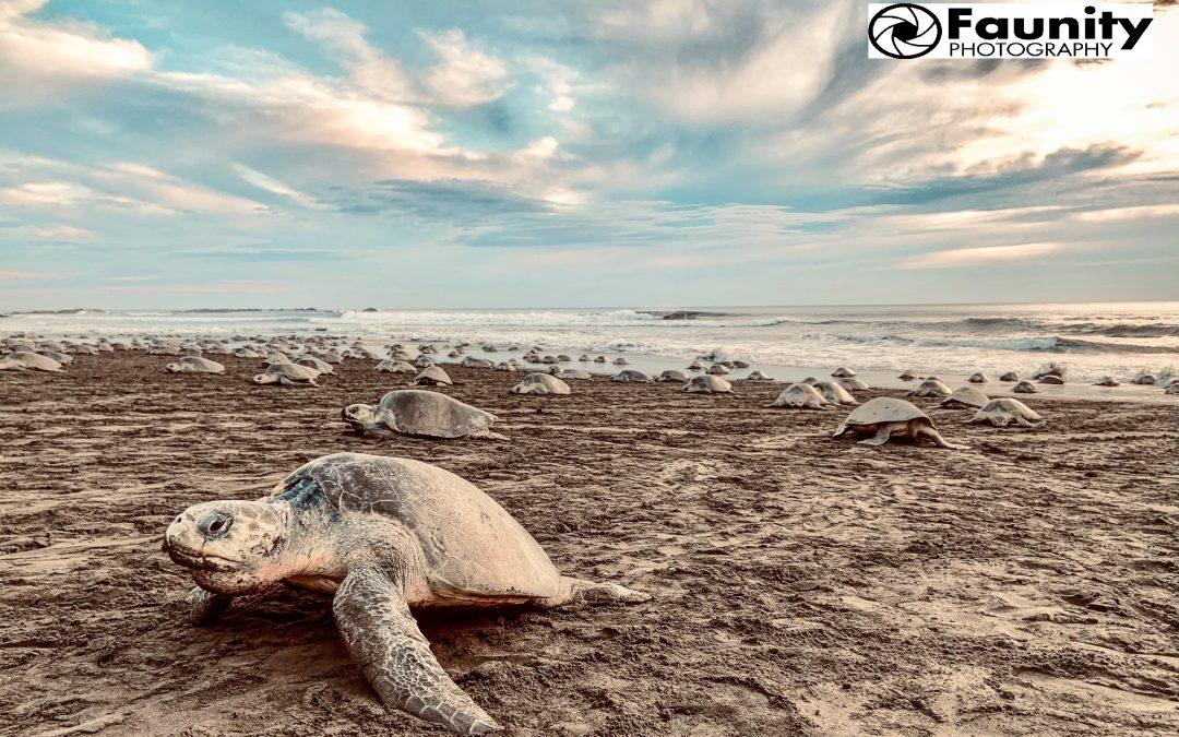 Arribada – Die Ankunft der Meeresschildkröten
